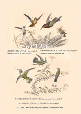 Garnet-Throated Hummingbird, White-Necked Jacobin, Crested Green Humming Bird, Racquet-Tailed